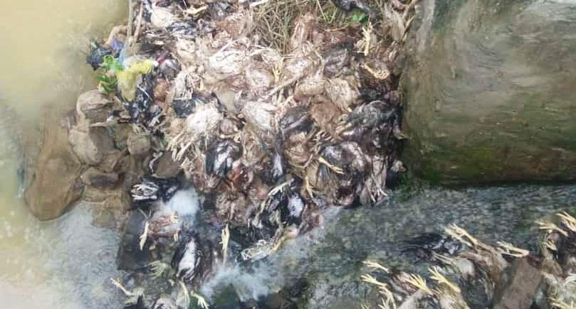 Sungai di Rembang Jadi Sasaran Buang Bangkai Ayam Pasca Banjir