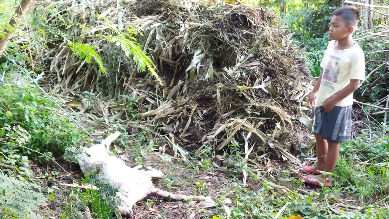 Gerombolan Anjing Liar Serang Ternak Warga Desa Manggar Sluke